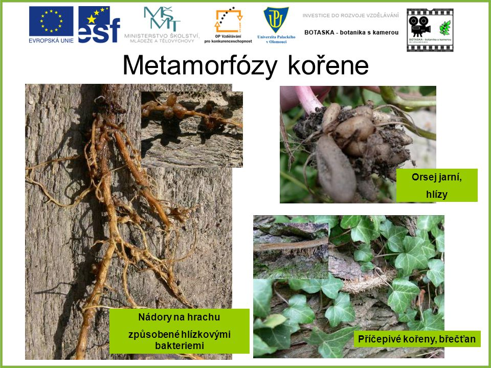 Metamorfózy kořene Nádory na hrachu způsobené hlízkovými bakteriemi Orsej jarní, hlízy Příčepivé kořeny, břečťan