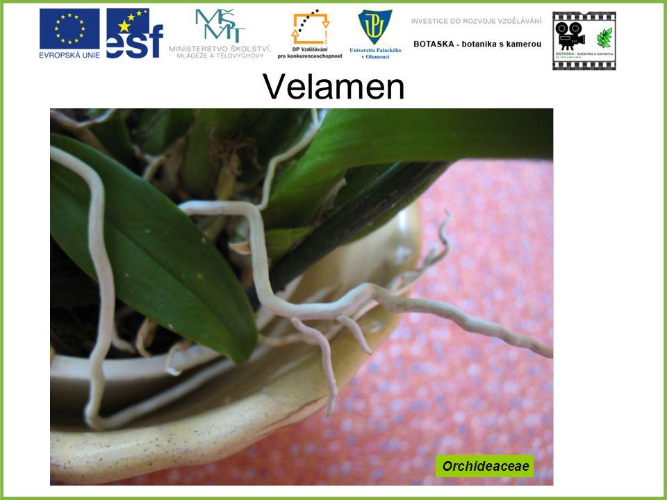 Velamen Orchideaceae