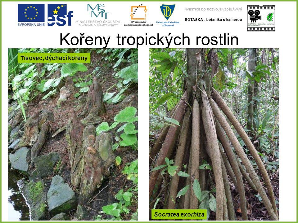 Kořeny tropických rostlin Tisovec, dýchací kořeny Socratea exorhiza
