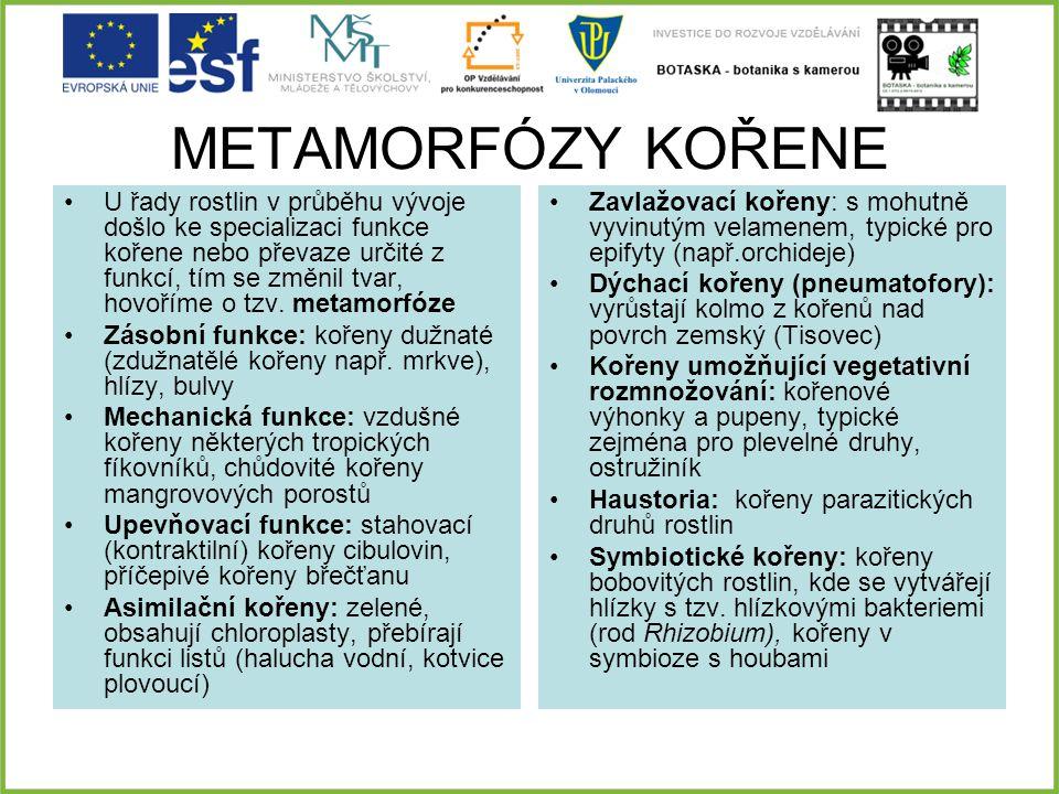METAMORFÓZY KOŘENE U řady rostlin v průběhu vývoje došlo ke specializaci funkce kořene nebo převaze určité z funkcí, tím se změnil tvar, hovoříme o tz