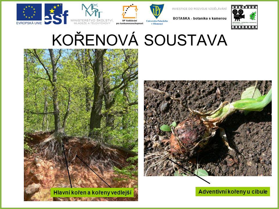 KOŘENOVÁ SOUSTAVA Adventivní kořeny u cibule Hlavní kořen a kořeny vedlejší