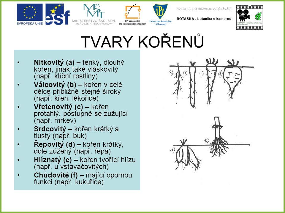 TVARY KOŘENŮ Nitkovitý (a) – tenký, dlouhý kořen, jinak také vláskovitý (např. klíční rostliny) Válcovitý (b) – kořen v celé délce přibližně stejně ši