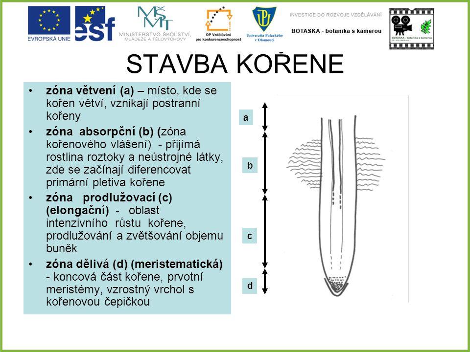 STAVBA KOŘENE zóna větvení (a) – místo, kde se kořen větví, vznikají postranní kořeny zóna absorpční (b) (zóna kořenového vlášení) - přijímá rostlina