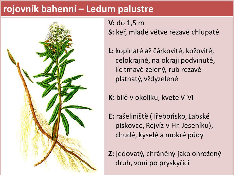 rojovník bahenní – Ledum palustre V: do 1,5 m S: keř, mladé větve rezavě chlupaté L: kopinaté až čárkovité, kožovité, celokrajné, na okraji podvinuté,