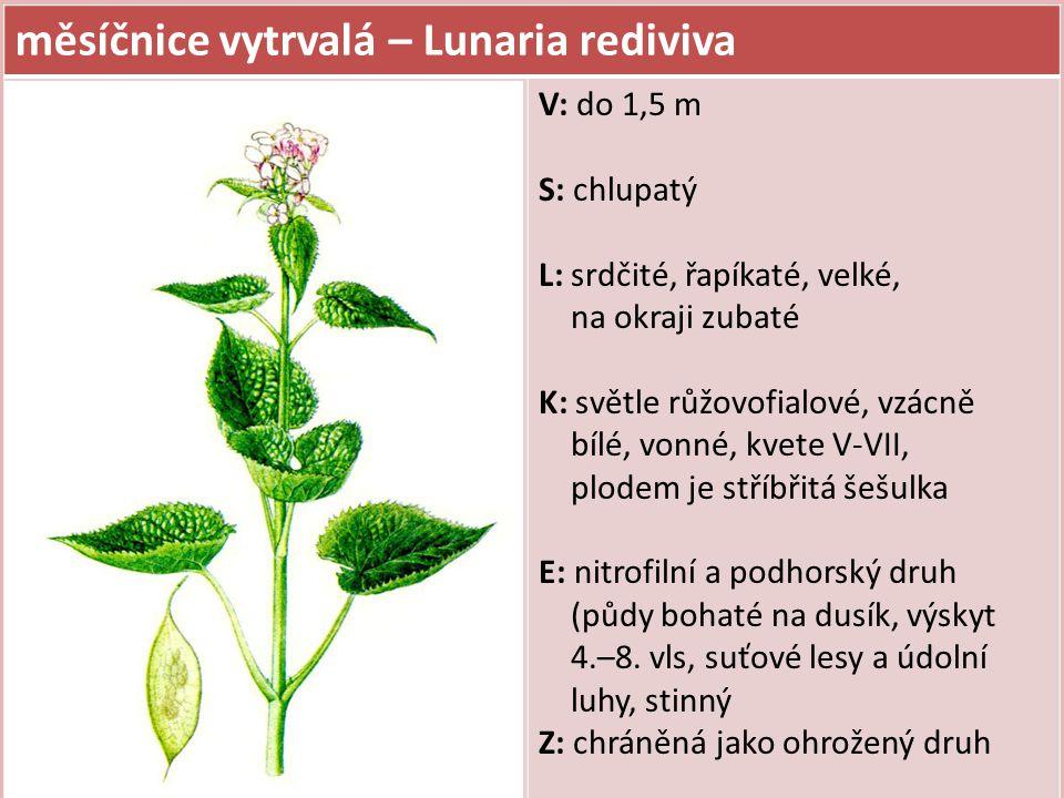 měsíčnice vytrvalá – Lunaria rediviva V: do 1,5 m S: chlupatý L: srdčité, řapíkaté, velké, na okraji zubaté K: světle růžovofialové, vzácně bílé, vonn