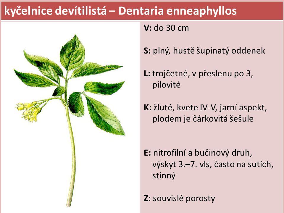 kyčelnice žláznatá – Dentaria glandulosa V: do 30 cm S: dutý, oddenek řídce šupinatý L: trojčetné, v přeslenu po 3, na rubu mezi dvěma zuby jsou drobné žlázky, lístky užší K: fialové, kvete IV-V, jarní aspekt E: nitrofilní a bučinový druh (3.–7.