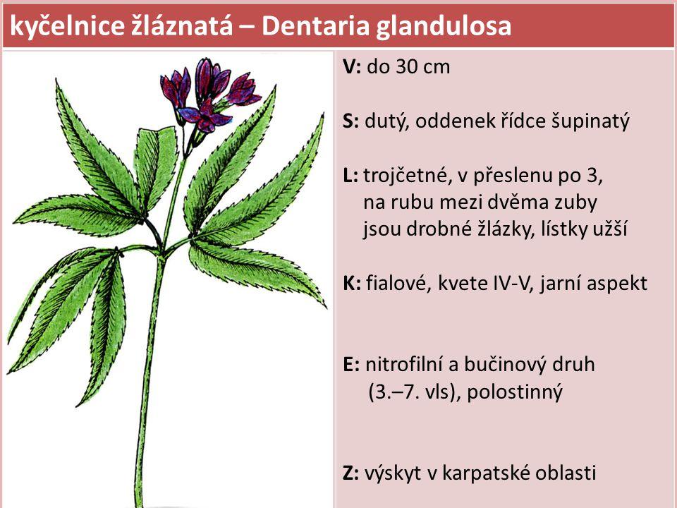 kyčelnice cibulkonosná – Dentaria bulbifera V: do 50 cm S: přímý, nevětvený, tlustý oddenek L: přízemní lichozpeřené, lodyžní trojčetné až kopinaté, vroubkované K: světle fialové, vzácně růžové až bílé, kvete IV-V, jarní aspekt E: bučinový druh, půdy středně bohaté až bohaté, středně vlhké, polostinný Z: v úžlabí listů černé rozmnožovací opadavé pacibulky
