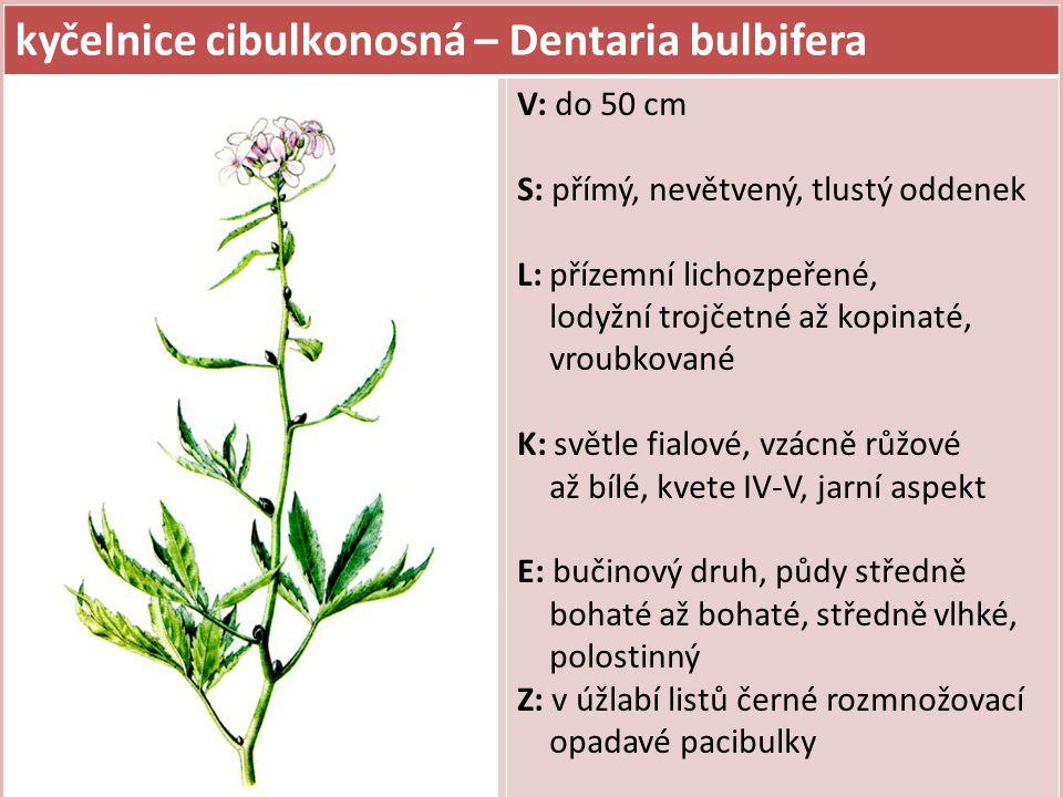 kyčelnice cibulkonosná – Dentaria bulbifera V: do 50 cm S: přímý, nevětvený, tlustý oddenek L: přízemní lichozpeřené, lodyžní trojčetné až kopinaté, v