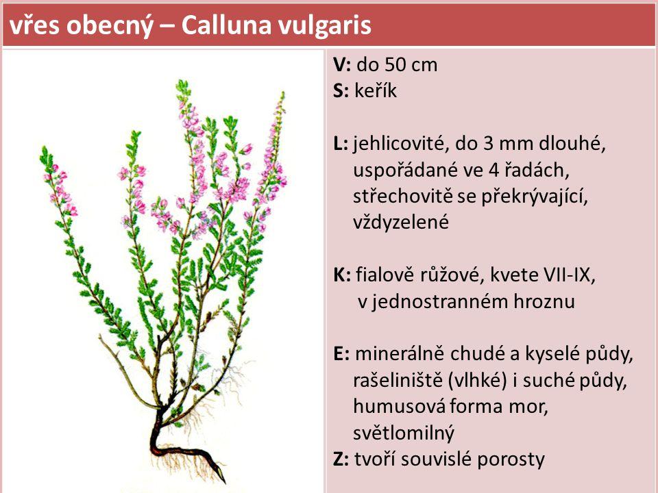 vřes obecný – Calluna vulgaris V: do 50 cm S: keřík L: jehlicovité, do 3 mm dlouhé, uspořádané ve 4 řadách, střechovitě se překrývající, vždyzelené K: