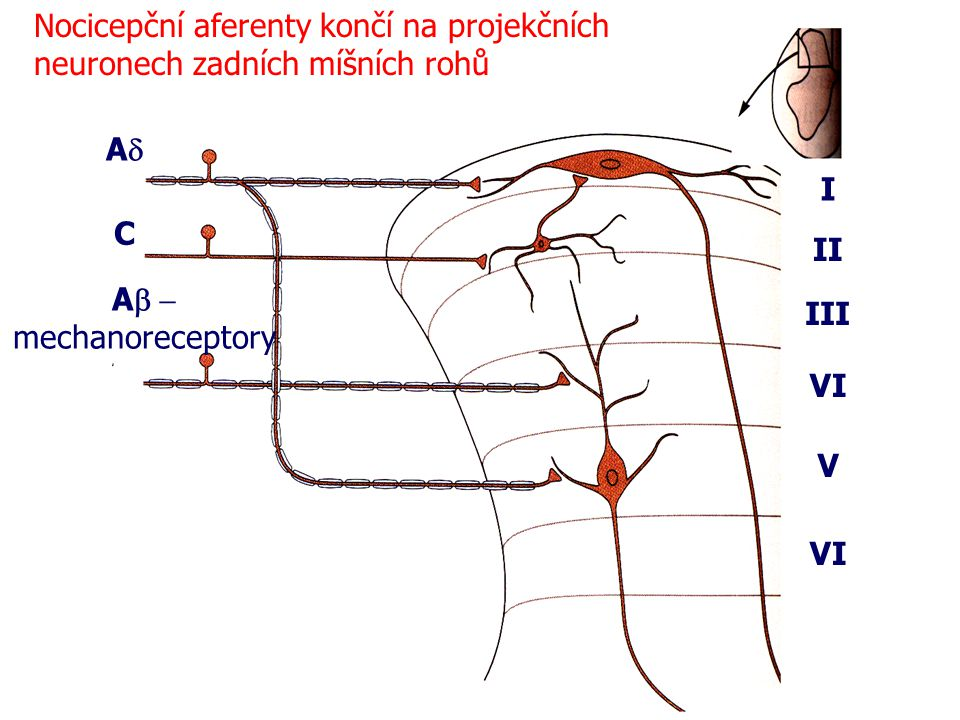 Nocicepční aferenty končí na projekčních neuronech zadních míšních rohů I II III VI V AA C A  mechanoreceptory