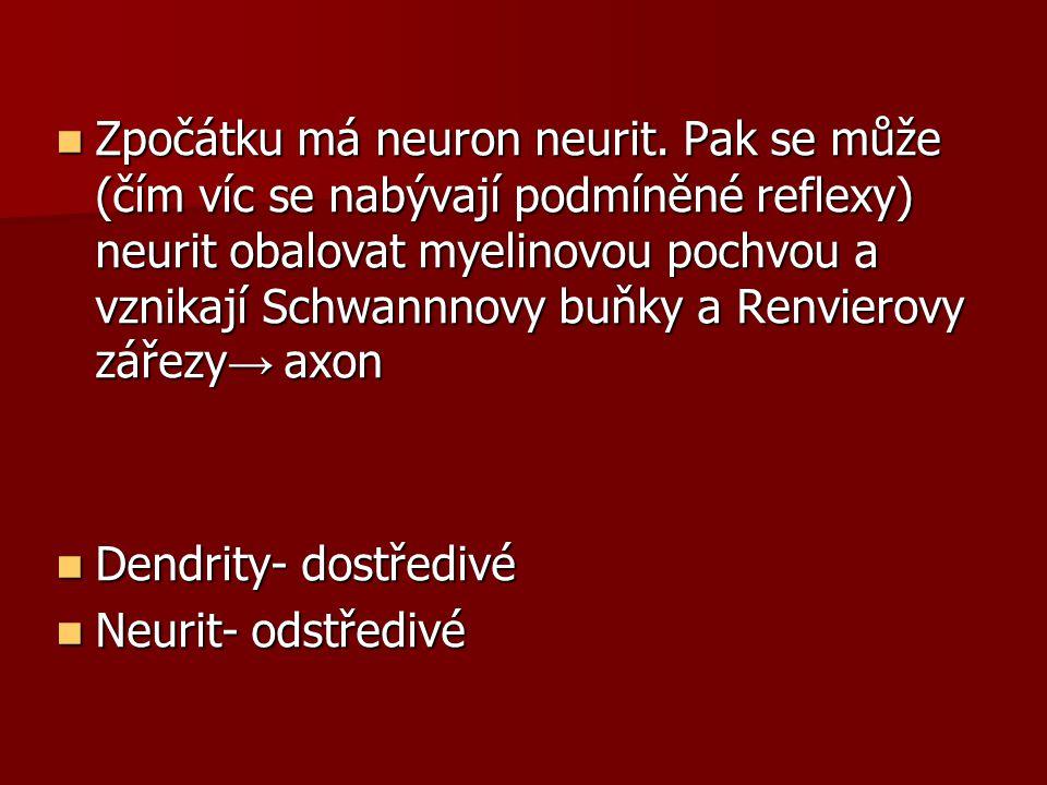 Zpočátku má neuron neurit. Pak se může (čím víc se nabývají podmíněné reflexy) neurit obalovat myelinovou pochvou a vznikají Schwannnovy buňky a Renvi