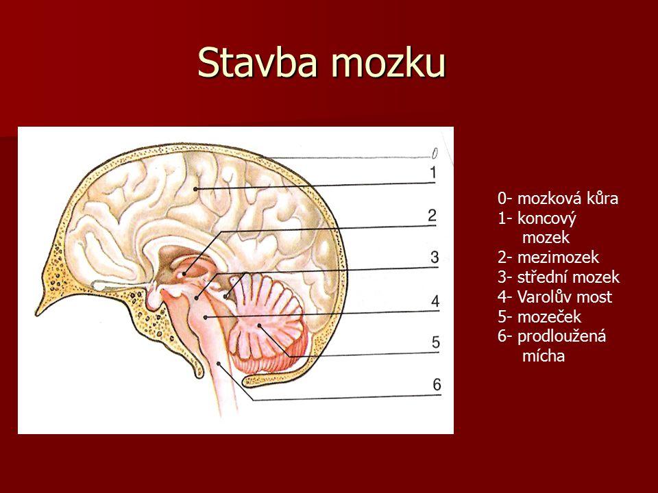 Stavba mozku 0- mozková kůra 1- koncový mozek 2- mezimozek 3- střední mozek 4- Varolův most 5- mozeček 6- prodloužená mícha