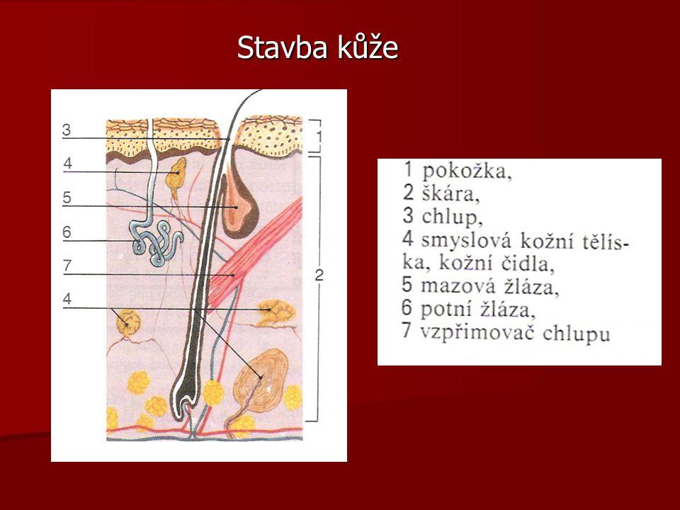 Střední mozek Čtverohrbolí Čtverohrbolí  2 hrbolky centrum zrakových reflexů reflexů  2 hrbolky funkce sluchová Kosterní svalstvo Kosterní svalstvo