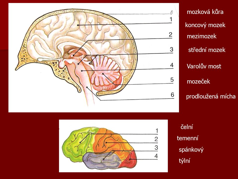 mozková kůra koncový mozek mezimozek střední mozek Varolův most mozeček prodloužená mícha čelní temenní spánkový týlní