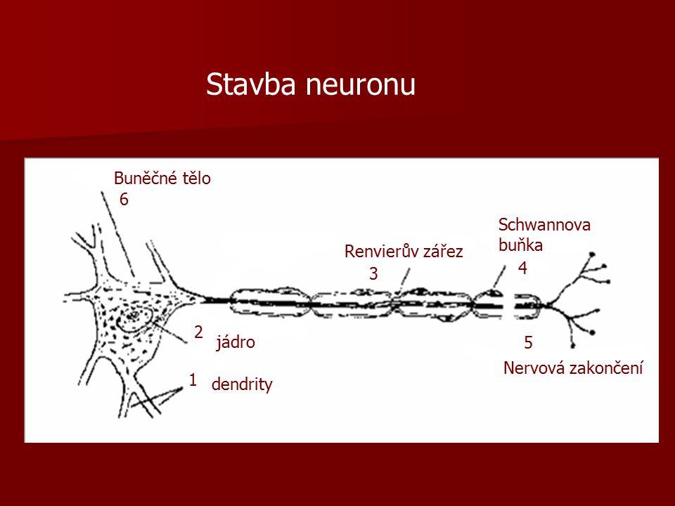 Stavba neuronu dendrity jádro Buněčné tělo Renvierův zářez Schwannova buňka Nervová zakončení 1 2 3 4 5 6