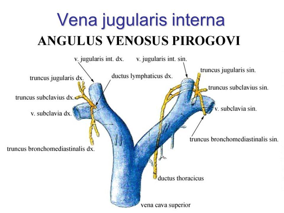 Vena jugularis interna - začátek sinus sigmoideus + sinus petrosus inferior  bulbus superior venae jugularis internae foramen jugulare dorzolaterální část