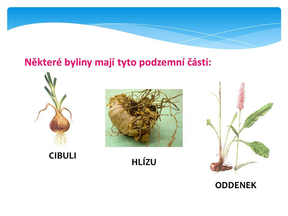 Některé byliny mají tyto podzemní části: CIBULI ODDENEK HLÍZU