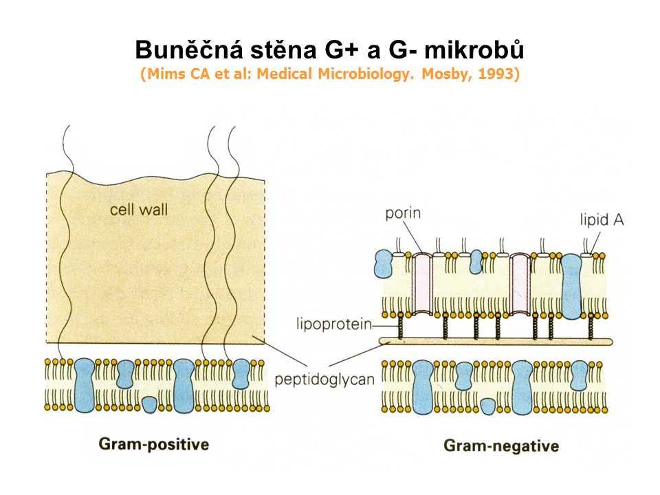 Buněčná stěna G+ a G- mikrobů (Mims CA et al: Medical Microbiology. Mosby, 1993)