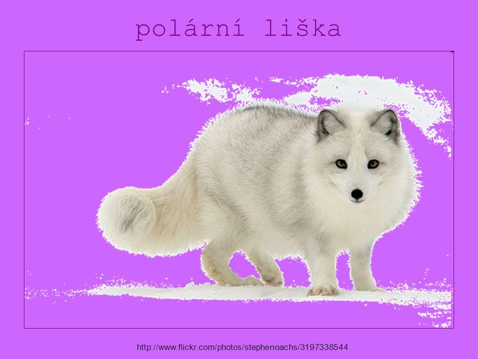 polární liška http://www.flickr.com/photos/stephenoachs/3197338544