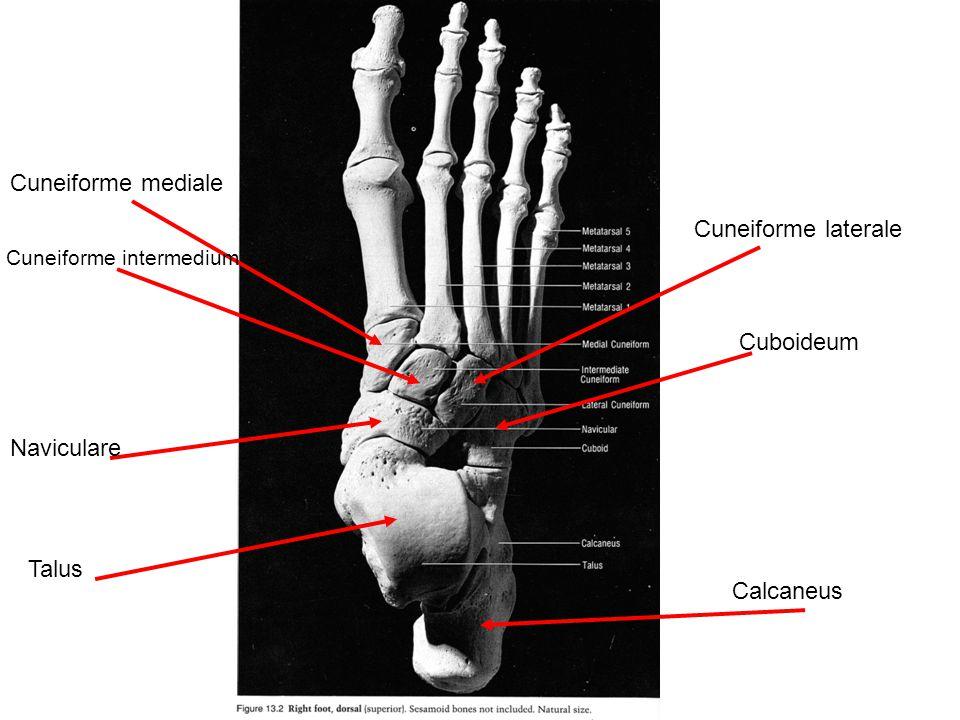 Cuneiforme mediale Cuneiforme intermedium Cuneiforme laterale Cuboideum Naviculare Talus Calcaneus