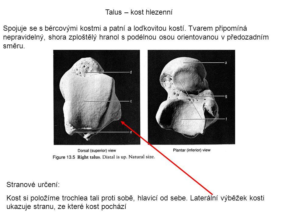 Talus – kost hlezenní Spojuje se s bércovými kostmi a patní a loďkovitou kostí. Tvarem připomíná nepravidelný, shora zploštělý hranol s podélnou osou