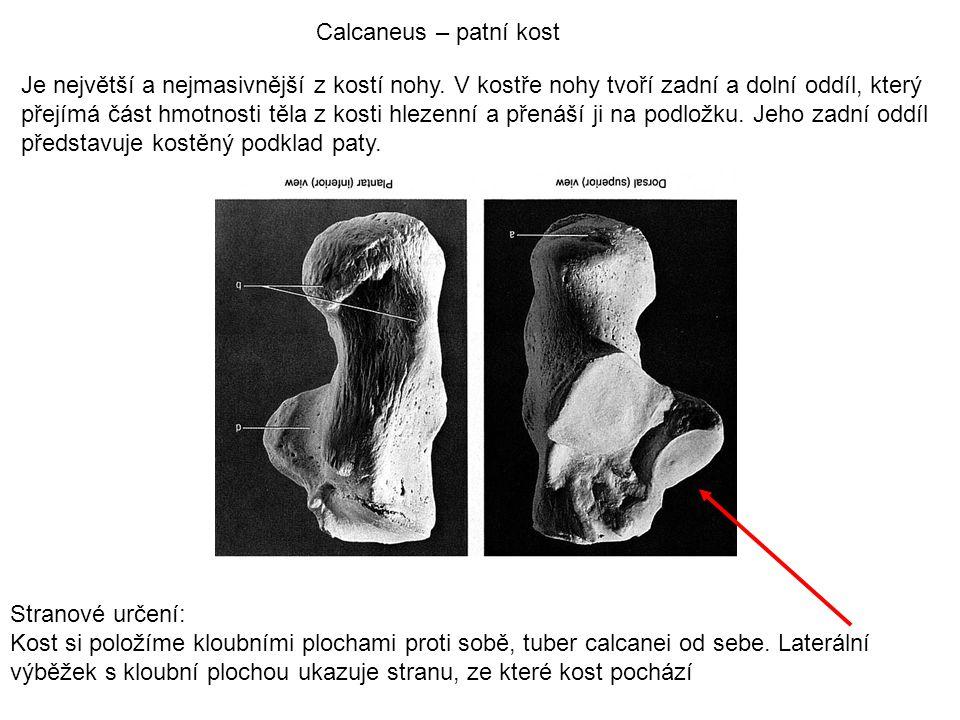 Calcaneus – patní kost Je největší a nejmasivnější z kostí nohy. V kostře nohy tvoří zadní a dolní oddíl, který přejímá část hmotnosti těla z kosti hl