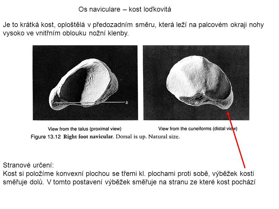 Os naviculare – kost loďkovitá Je to krátká kost, oploštělá v předozadním směru, která leží na palcovém okraji nohy vysoko ve vnitřním oblouku nožní k