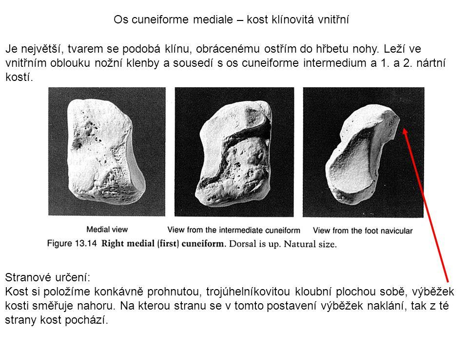 Os cuneiforme mediale – kost klínovitá vnitřní Je největší, tvarem se podobá klínu, obrácenému ostřím do hřbetu nohy. Leží ve vnitřním oblouku nožní k