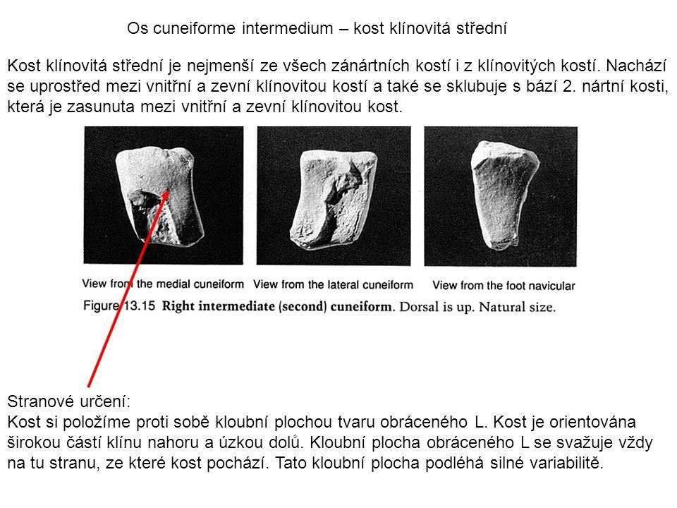 Os cuneiforme intermedium – kost klínovitá střední Kost klínovitá střední je nejmenší ze všech zánártních kostí i z klínovitých kostí. Nachází se upro