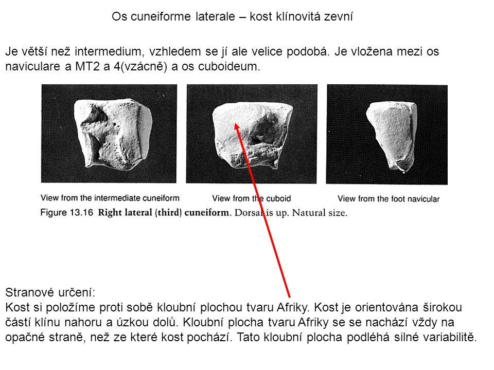 Os cuneiforme laterale – kost klínovitá zevní Je větší než intermedium, vzhledem se jí ale velice podobá. Je vložena mezi os naviculare a MT2 a 4(vzác