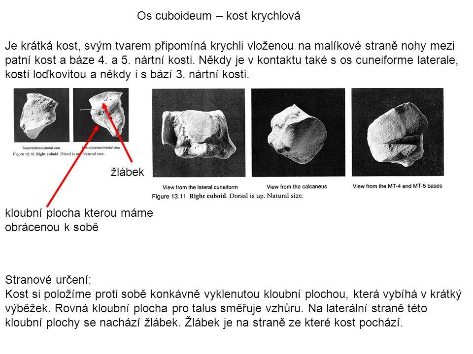 Os cuboideum – kost krychlová Je krátká kost, svým tvarem připomíná krychli vloženou na malíkové straně nohy mezi patní kost a báze 4. a 5. nártní kos