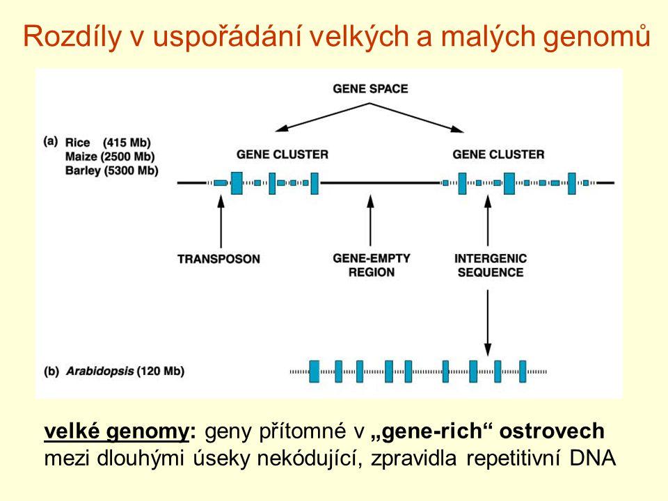 """Rozdíly v uspořádání velkých a malých genomů velké genomy: geny přítomné v """"gene-rich ostrovech mezi dlouhými úseky nekódující, zpravidla repetitivní DNA"""