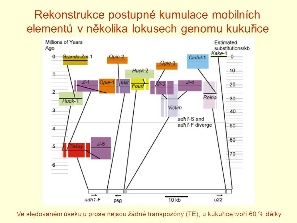 Rekonstrukce postupné kumulace mobilních elementů v několika lokusech genomu kukuřice Ve sledovaném úseku u prosa nejsou žádné transpozóny (TE), u kukuřice tvoří 60 % délky