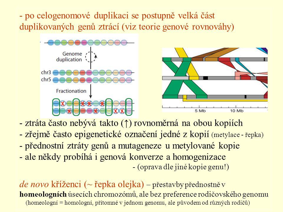 - po celogenomové duplikaci se postupně velká část duplikovaných genů ztrácí (viz teorie genové rovnováhy) - ztráta často nebývá takto (↑) rovnoměrná na obou kopiích - zřejmě často epigenetické označení jedné z kopií (metylace - řepka) - přednostní ztráty genů a mutageneze u metylované kopie - ale někdy probíhá i genová konverze a homogenizace - (oprava dle jiné kopie genu!) de novo kříženci (~ řepka olejka) – přestavby přednostně v homeologních úsecích chromozómů, ale bez preference rodičovského genomu (homeologní = homologní, přítomné v jednom genomu, ale původem od různých rodičů)