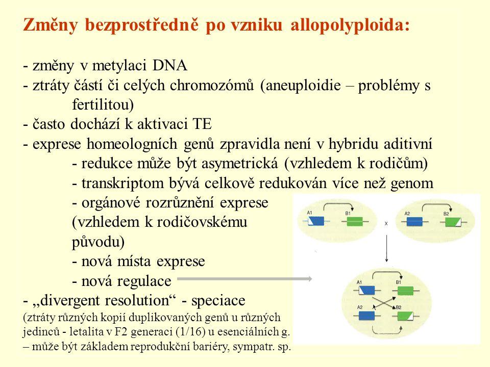Změny bezprostředně po vzniku allopolyploida: - změny v metylaci DNA - ztráty částí či celých chromozómů (aneuploidie – problémy s fertilitou) - často