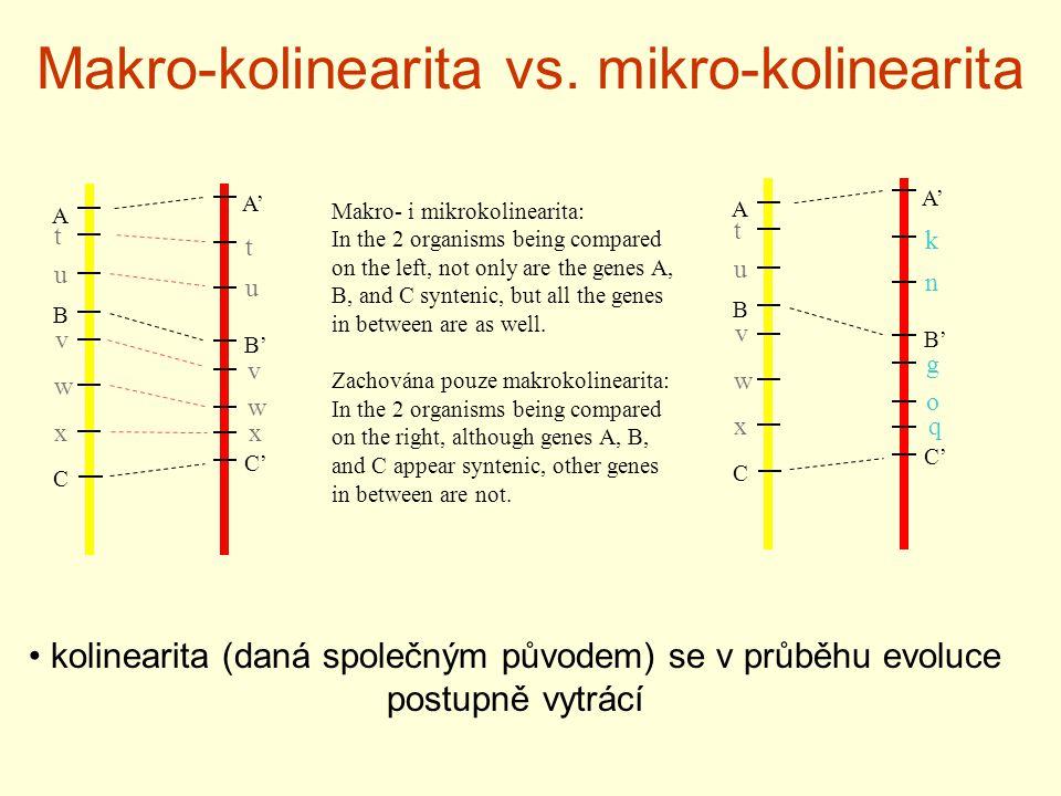 Makro-kolinearita vs. mikro-kolinearita A B C A' B' C' o t u w xq n k v g kolinearita (daná společným původem) se v průběhu evoluce postupně vytrácí A