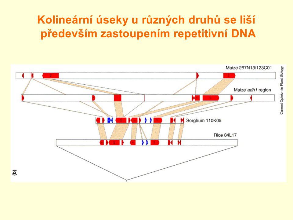 Kolineární úseky u různých druhů se liší především zastoupením repetitivní DNA