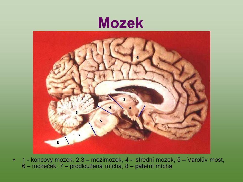 1 - koncový mozek, 2,3 – mezimozek, 4 - střední mozek, 5 – Varolův most, 6 – mozeček, 7 – prodloužená mícha, 8 – páteřní mícha