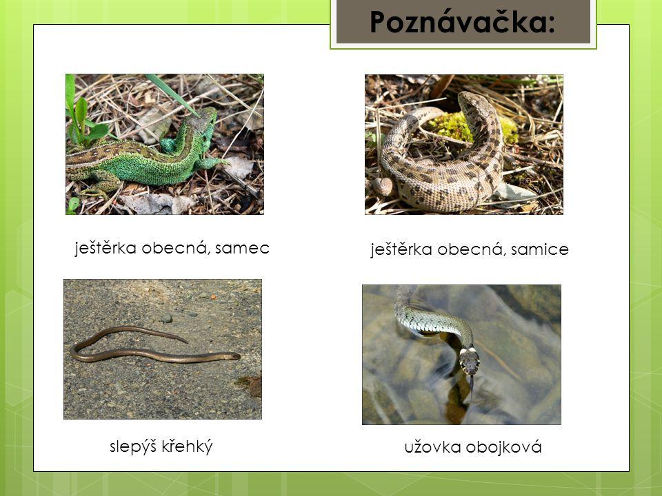 Poznávačka: ještěrka obecná, samec ještěrka obecná, samice slepýš křehký užovka obojková