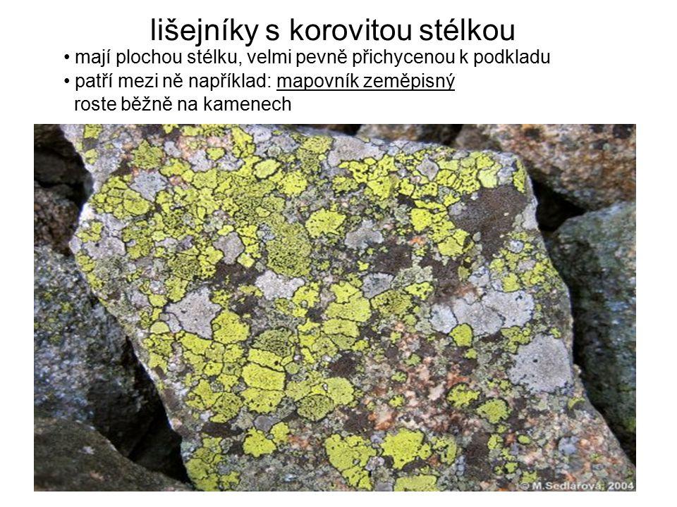 lišejníky s korovitou stélkou mají plochou stélku, velmi pevně přichycenou k podkladu patří mezi ně například: mapovník zeměpisný roste běžně na kamen