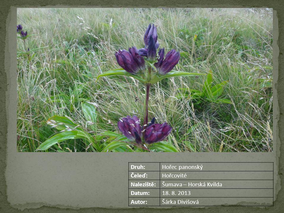 Druh:Hořec panonský Čeleď:Hořcovité Naleziště:Šumava – Horská Kvilda Datum:18.