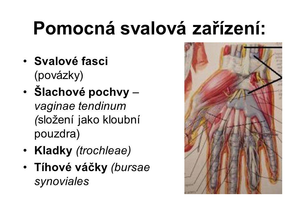 Pomocná svalová zařízení: Svalové fasci (povázky) Šlachové pochvy – vaginae tendinum (složení jako kloubní pouzdra) Kladky (trochleae) Tíhové váčky (b