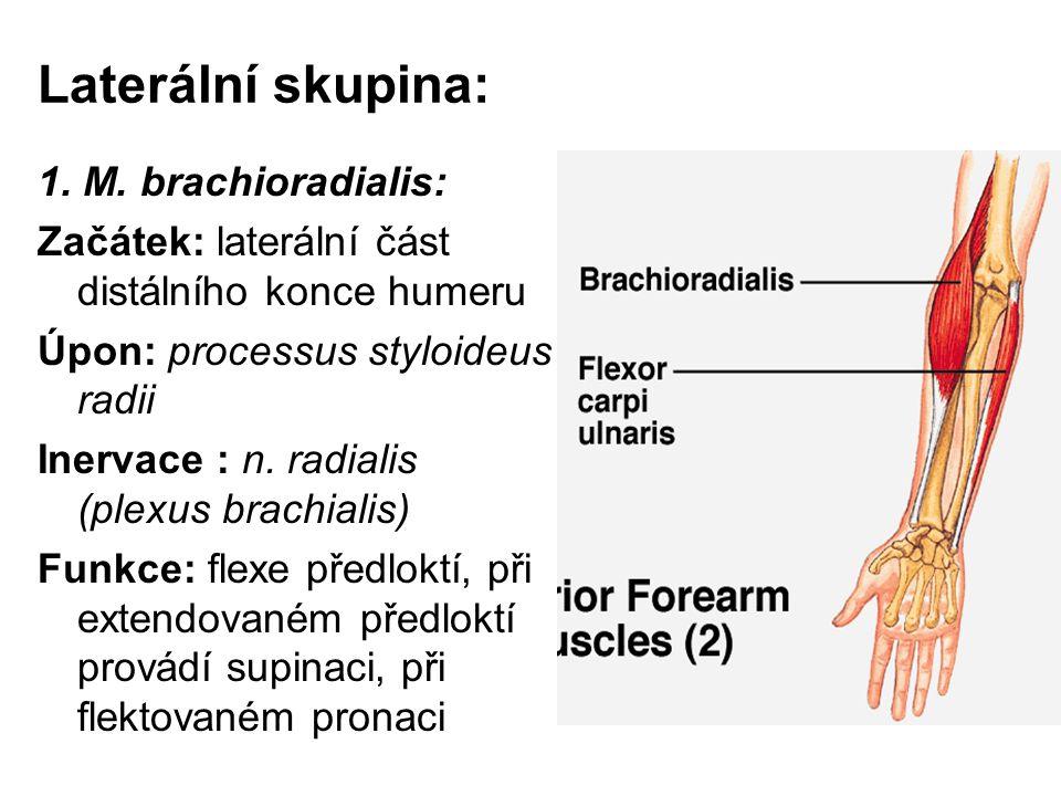 Laterální skupina: 1. M. brachioradialis: Začátek: laterální část distálního konce humeru Úpon: processus styloideus radii Inervace : n. radialis (ple