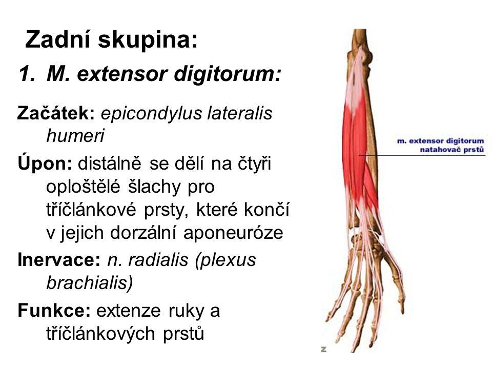 Zadní skupina: 1.M. extensor digitorum: Začátek: epicondylus lateralis humeri Úpon: distálně se dělí na čtyři oploštělé šlachy pro tříčlánkové prsty,