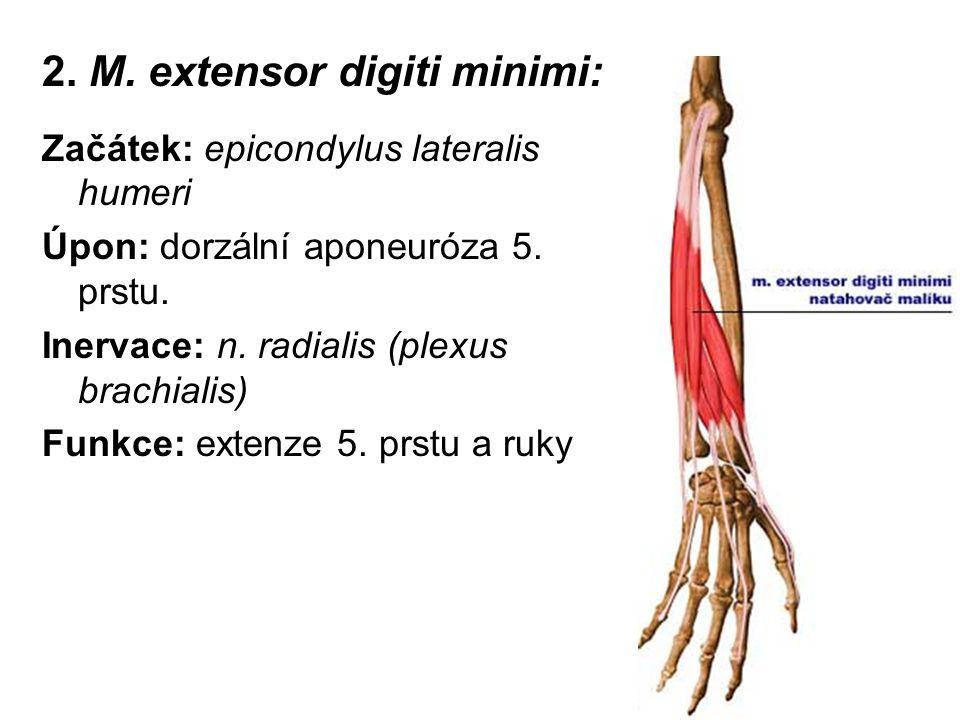 2. M. extensor digiti minimi: Začátek: epicondylus lateralis humeri Úpon: dorzální aponeuróza 5. prstu. Inervace: n. radialis (plexus brachialis) Funk