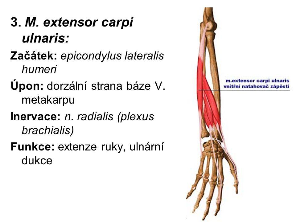 3. M. extensor carpi ulnaris: Začátek: epicondylus lateralis humeri Úpon: dorzální strana báze V. metakarpu Inervace: n. radialis (plexus brachialis)