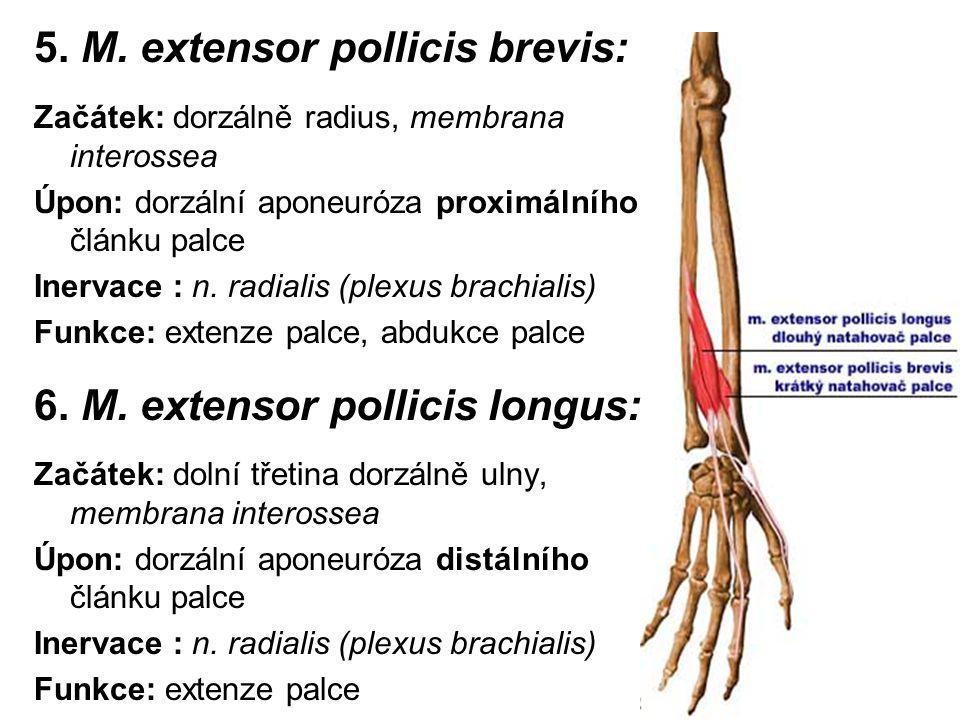 5. M. extensor pollicis brevis: Začátek: dorzálně radius, membrana interossea Úpon: dorzální aponeuróza proximálního článku palce Inervace : n. radial