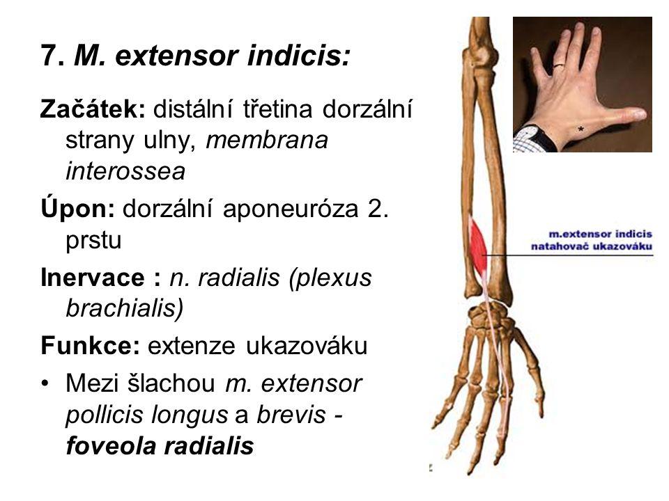 7. M. extensor indicis: Začátek: distální třetina dorzální strany ulny, membrana interossea Úpon: dorzální aponeuróza 2. prstu Inervace : n. radialis