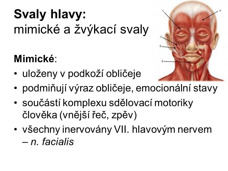 Svaly hlavy: mimické a žvýkací svaly Mimické: uloženy v podkoží obličeje podmiňují výraz obličeje, emocionální stavy součástí komplexu sdělovací motor