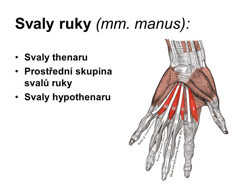 Svaly ruky (mm. manus): Svaly thenaru Prostřední skupina svalů ruky Svaly hypothenaru